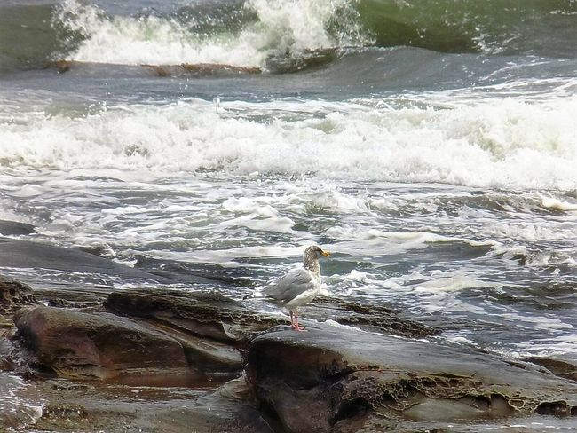 The Pacific Northwest Seagull, waiting for his chance. Water Surf Motion Wave Scenics Power In Nature Nature Sea Flowing Water Beauty In Nature Flowing Tranquil Scene Non-urban Scene Shore Tranquility Day Outdoors Splashing Remote Seascape Seagulls Weather Photography Bcstorm Beauty In Nature Travel Destinations