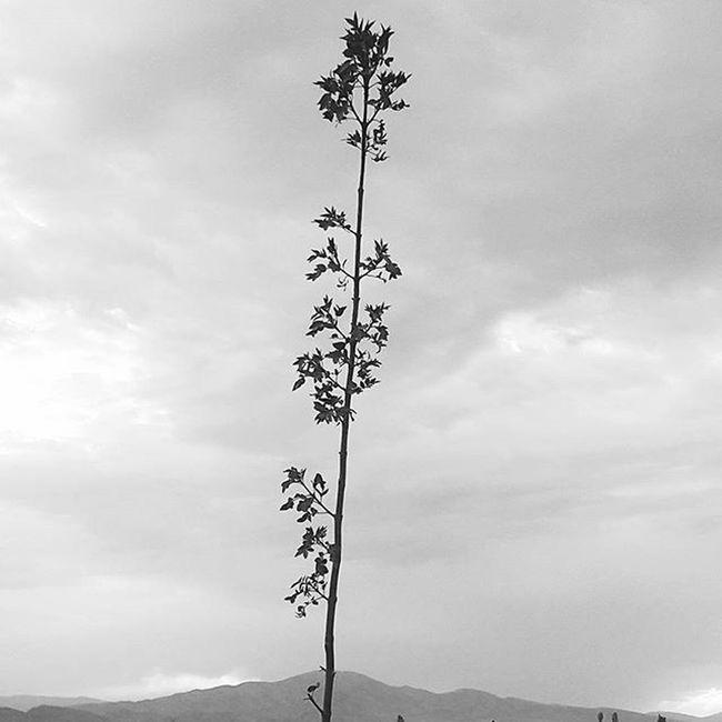 ▫ مثل شاخه ی پررنگ یک نهال چنار پیش یک کوه بلند که نمیرسه قدش به قدت... تو همینقدر زیبایی قدش_به_قدت_نمیرسد قدم_بلند_است_ولی_روی_شما_کجا