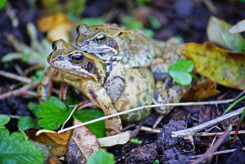 Animal Themes Animal Wildlife Animals In The Wild Close-up Day Frog Frog Frog Catching Frog Love Frog Perspective Iguana Nature No People One Animal Outdoors Reptile Woerden