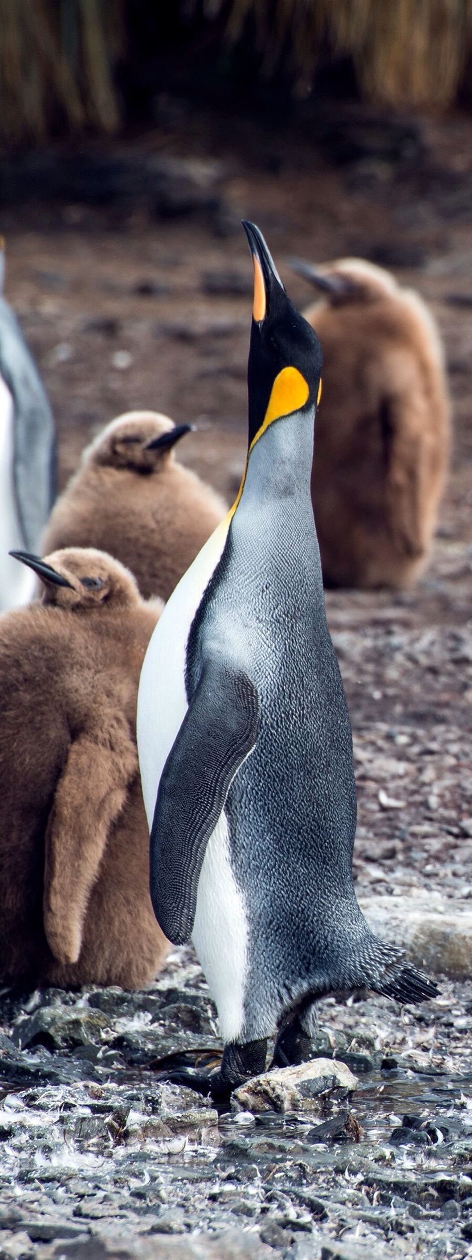 Beautiful stock photos of penguin, Animal, Animal Themes, Beak, Bird