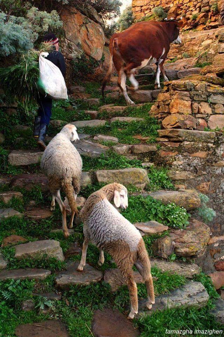 animal themes, domestic animals, livestock, mammal, outdoors, day, sheep, nature, no people, standing, llama, togetherness, grass