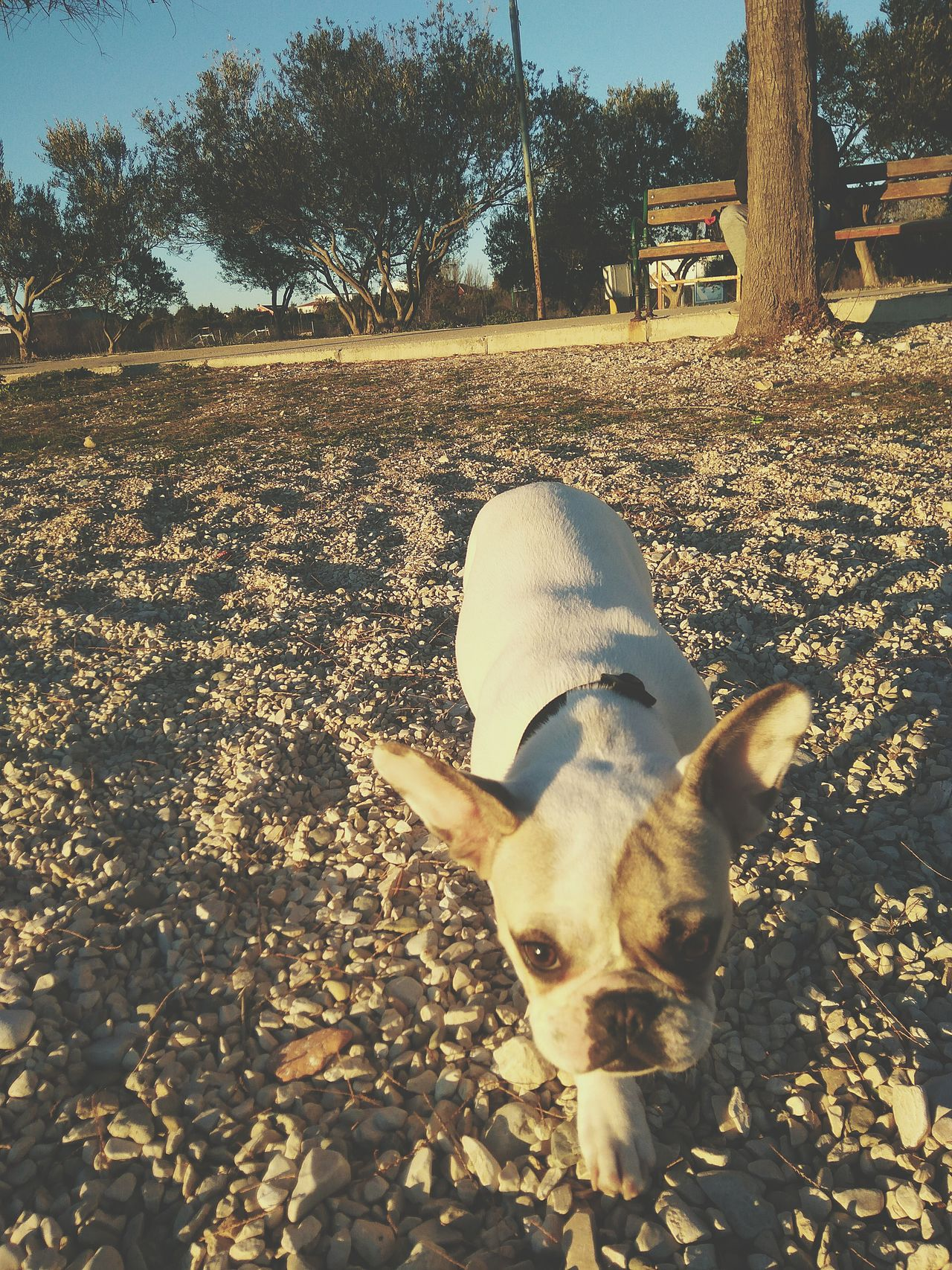 Dog Domestic Animals Pets Animal Themes Mammal One Animal Outdoors Frenchbulldog Frenchie
