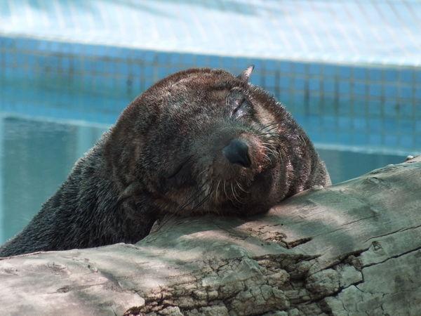 #sealifepark#Honolulu #sleepy #Sunday Animal Themes Aquatic Mammal Day Nature Sea Lion First Eyeem Photo