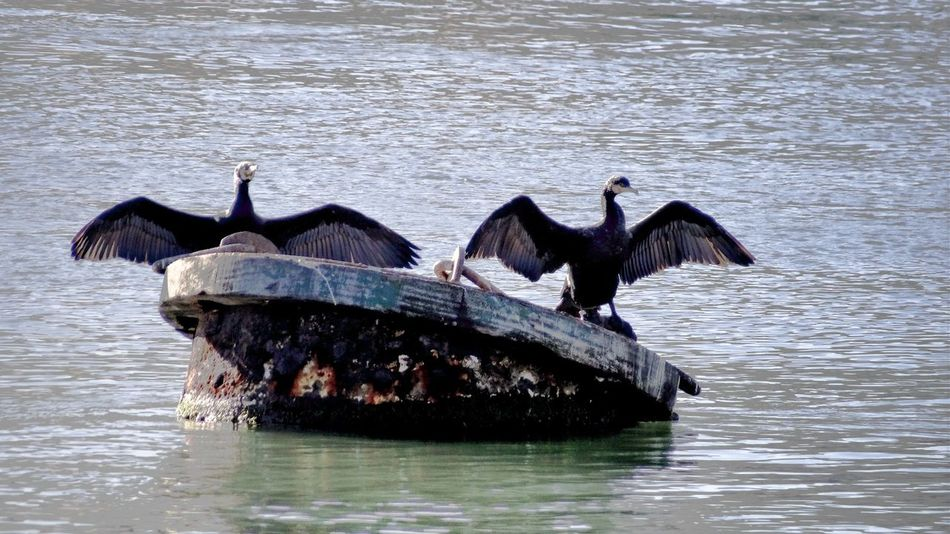 Cormorant  Bird Deployed Wings Sea Seascape Birds Of EyeEm  Sea Bird Things I Like Showcase April Found On The Roll Nature's Diversities People Of The Oceans Two Is Better Than One
