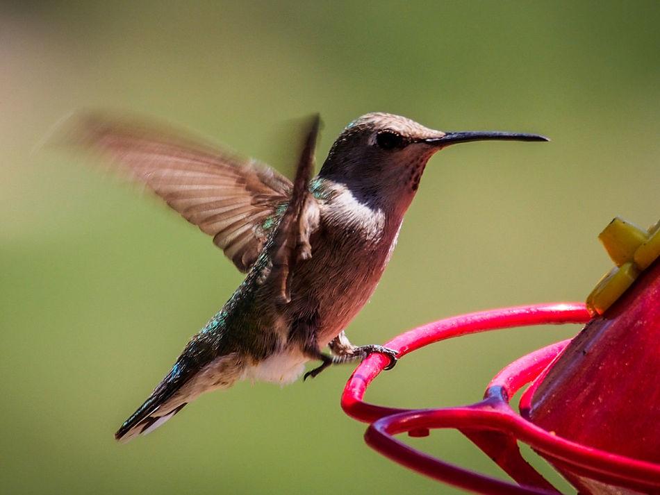 Beautiful stock photos of kolibri, Activity, Animal Body Part, Animal Themes, Animal Wildlife