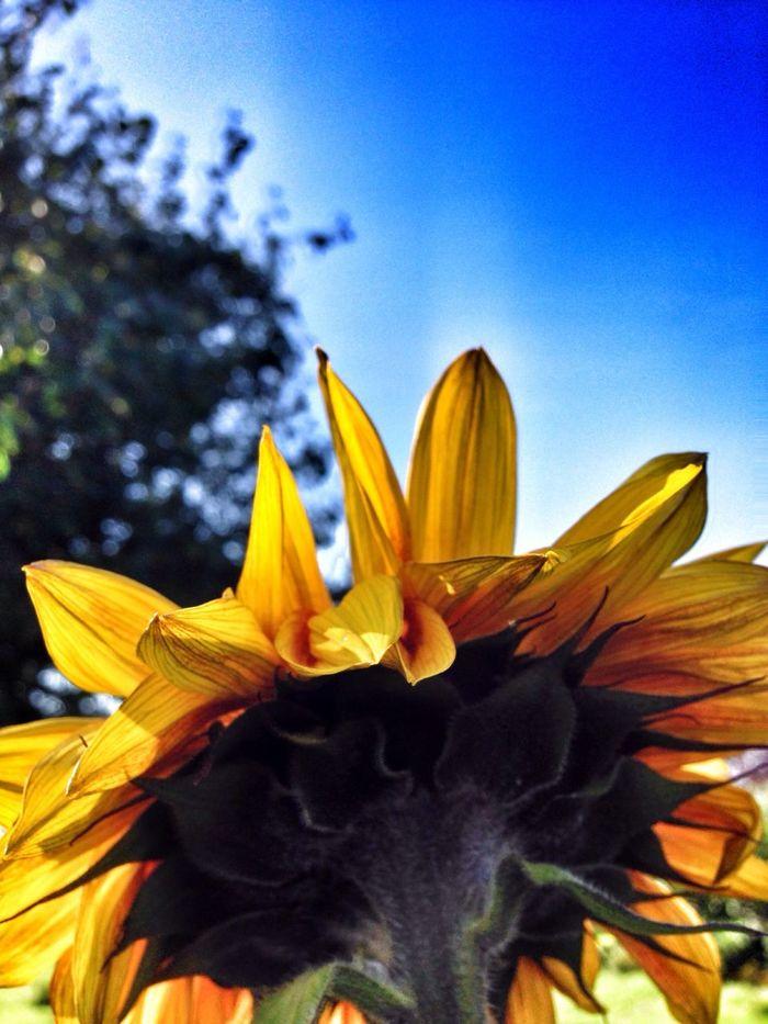 Sunflower part 3! Flowerporn Taking Photos