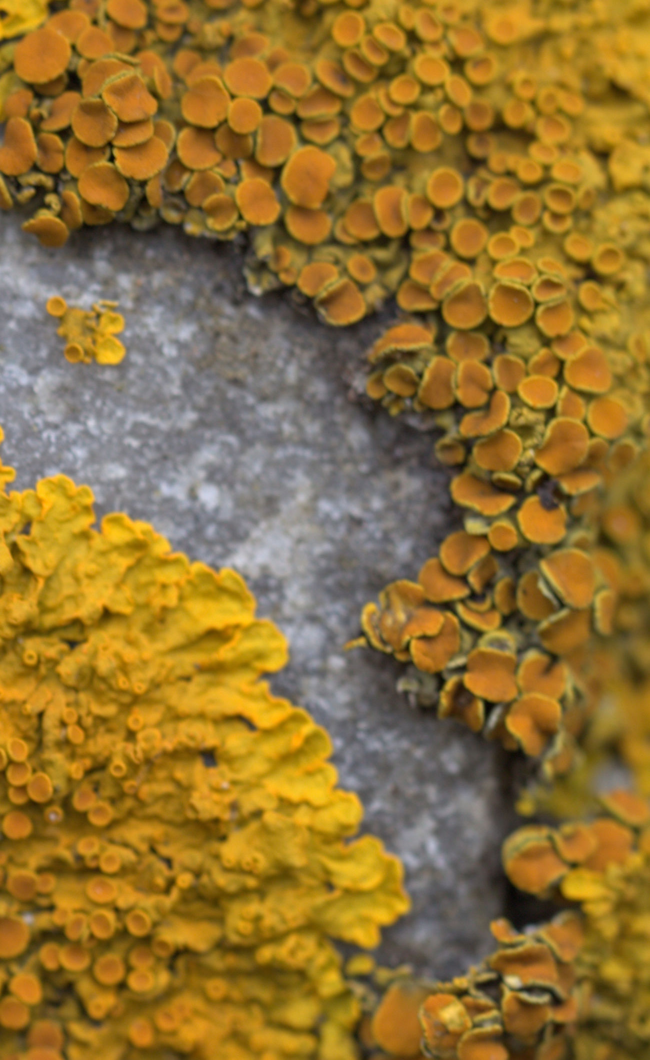 Close-up Lichen On A Rock Nature No People Outdoors Yellow