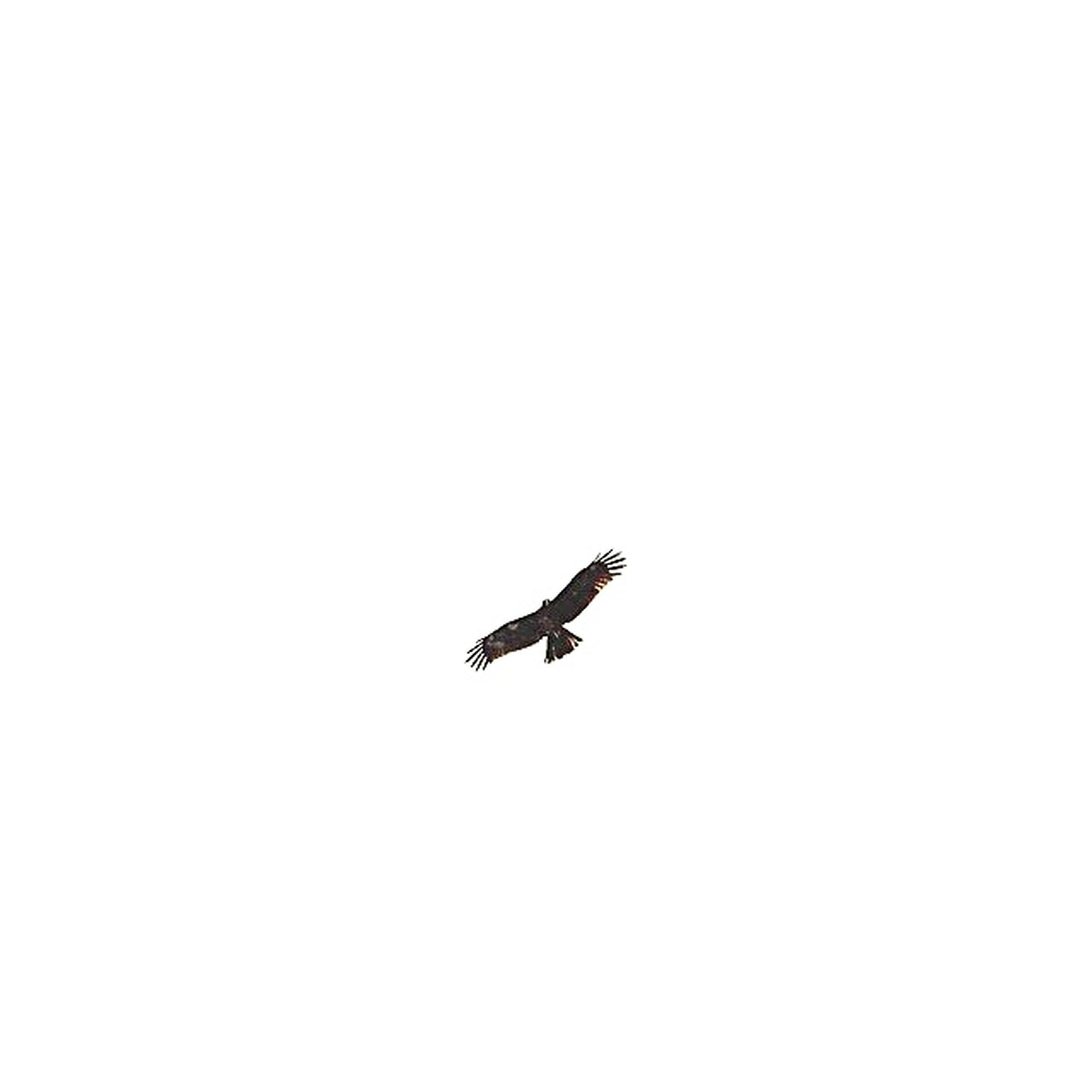 flying, mid-air, copy space, clear sky, low angle view, animal themes, bird, animals in the wild, one animal, wildlife, spread wings, transportation, silhouette, on the move, airplane, nature, sky, air vehicle, outdoors, no people