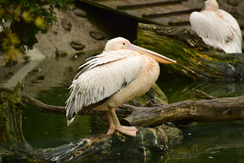 Animal Beauty In Nature Free Time Kraków, Poland Natura Pelican Water Wekend Zoology