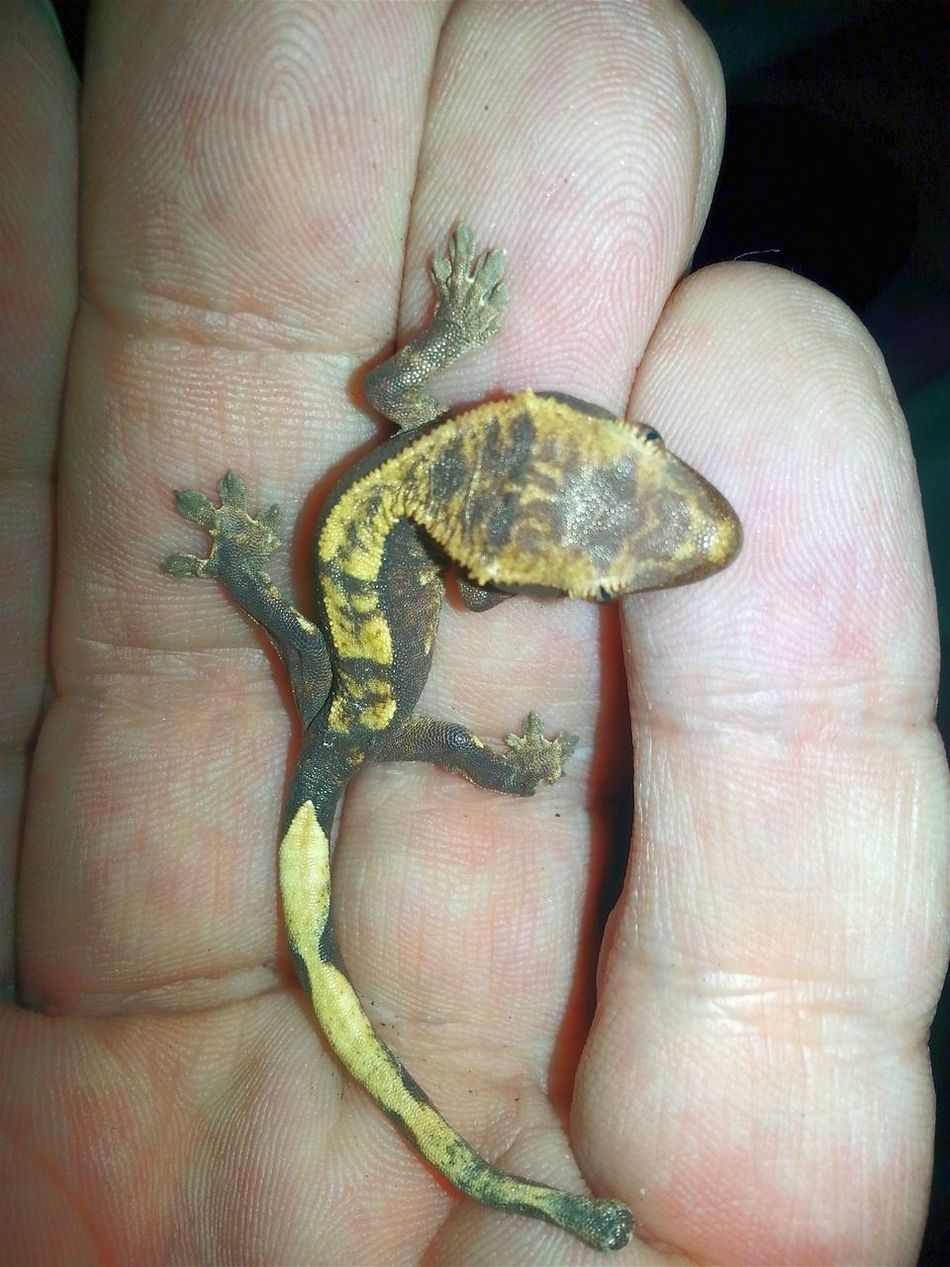 This crested gecko baby I just found in the feed cup of the adult crested geckos. Baby Baby Animal Feed  Cup Adults Adult Lifestyles Close-up Beauty In Nature Babies Baby Photography Exotic Pets Jurassic World New Life.... New Life In Spring Hello World Check This Out Exotic Creatures Special_shots Exotic Animals Baby Animals Jurassic World Of Dino's Animal Photography Dino's Photography Jurassic Park
