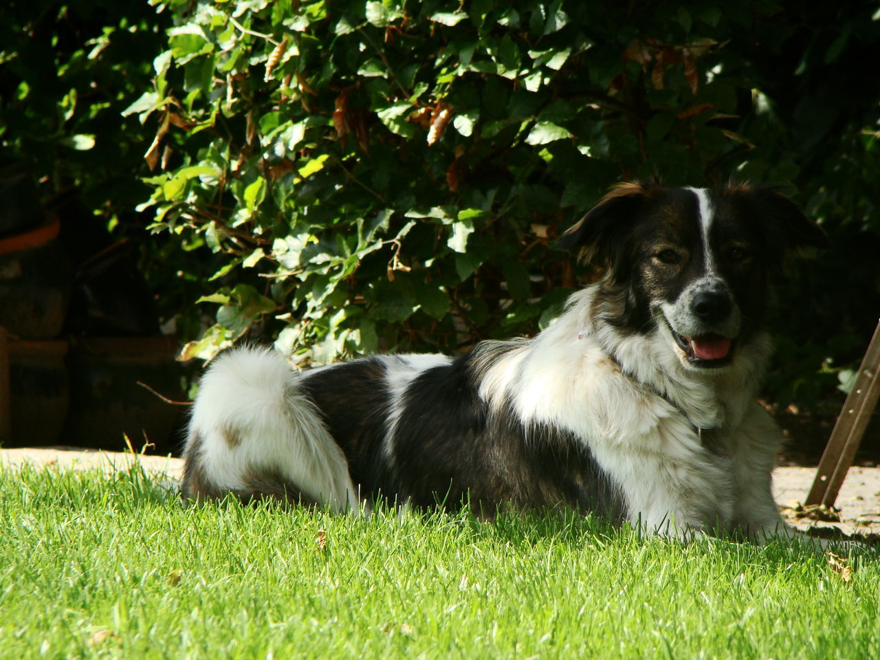 grass, dog, domestic animals, pets, mammal, animal themes, one animal, field, growth, green color, outdoors, nature, day, no people