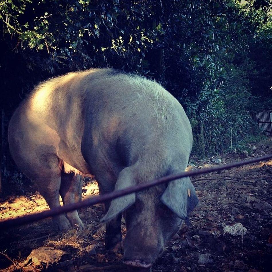 Piggy off of centre Pig Cerdo Porco Xanceda