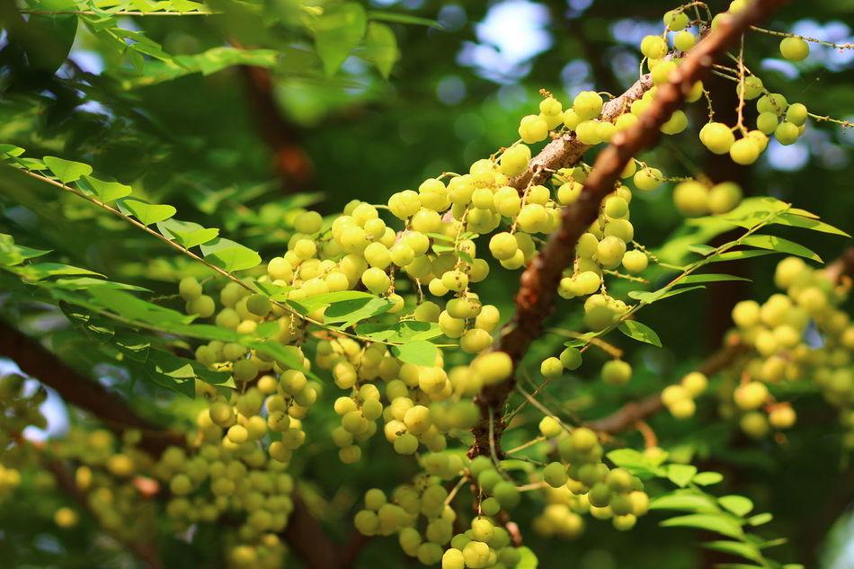 Beauty In Nature Botany Branch Freshness Fruit Green Color Leaf Nature Phyllanthus Acidus Plant Star Gooseberry Tree Twig ต้นมะยม พวงมะยม มะยม