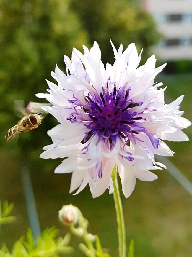 Showcase June Macro_collection Nature Macro Nature Kornblume Weiss Flowerporn Prachtvoll Sommerfeeling Insect Photography Fly Flying High Schwebefliege Auf Dem Balkon Weiße Blüten