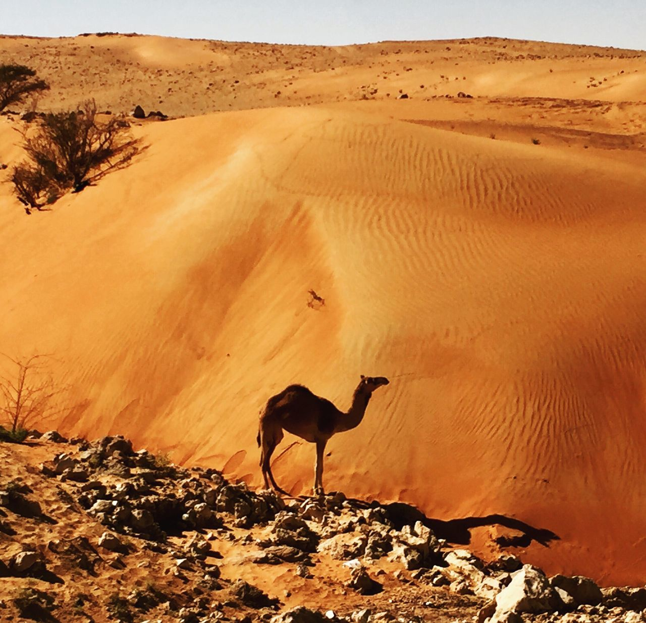 Nature Beauty In Nature Arid Climate Scenics Outdoors Day Animal Themes Sand Dune Tranquil Scene Landscape Photography Beautiful Animal Camel Desert Sand Wildlife Wildlife & Nature Trip