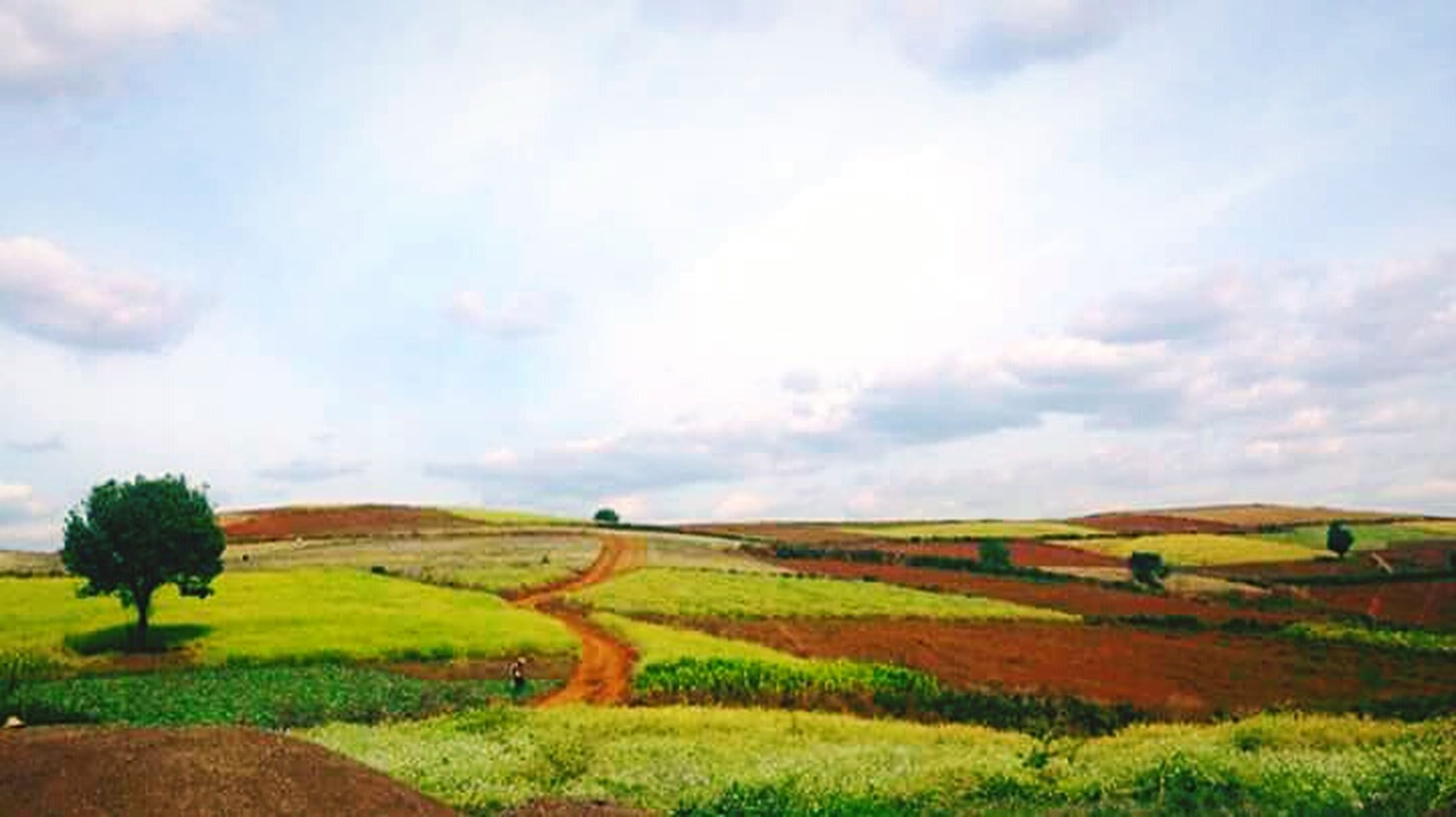 sky, field, landscape, agriculture, rural scene, tranquil scene, tranquility, cloud - sky, grass, beauty in nature, growth, scenics, cloud, nature, crop, cloudy, yellow, cultivated land, green color, horizon over land, day, outdoors, grassy, plant, no people, non-urban scene, idyllic, remote, green