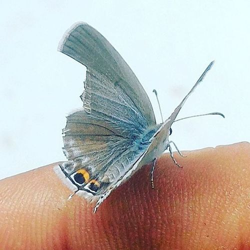 Moth Butterfly Guest Finger Little Beauty