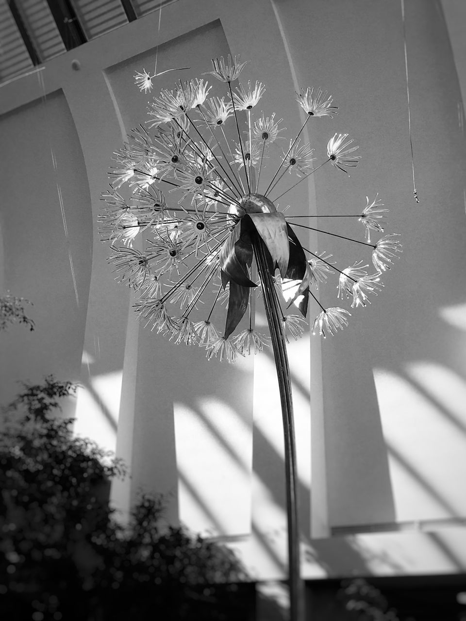 Close-Up Of Dandelion Against Wall