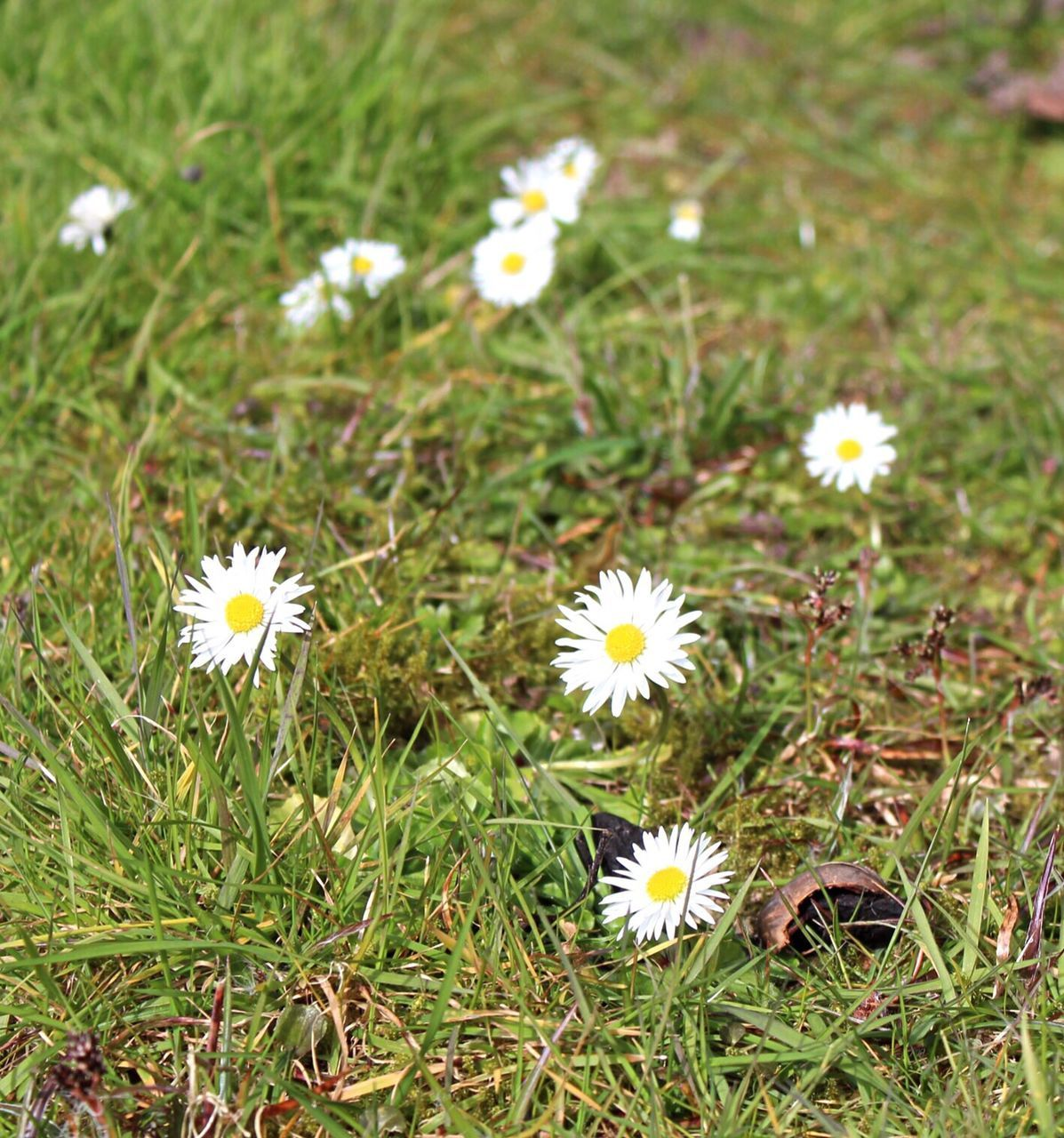 CLOSE-UP OF FLOWERS BLOOMING IN GRASSY FIELD