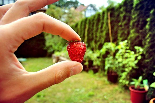 Beeren DIY Erdbeer Erdbeere Erdbeeren Pflücken Garten Lecker Lecker ❤ Leckerschmecker Miam Nature Pflanzen Pflücken Selbstversorgung Yammy!!