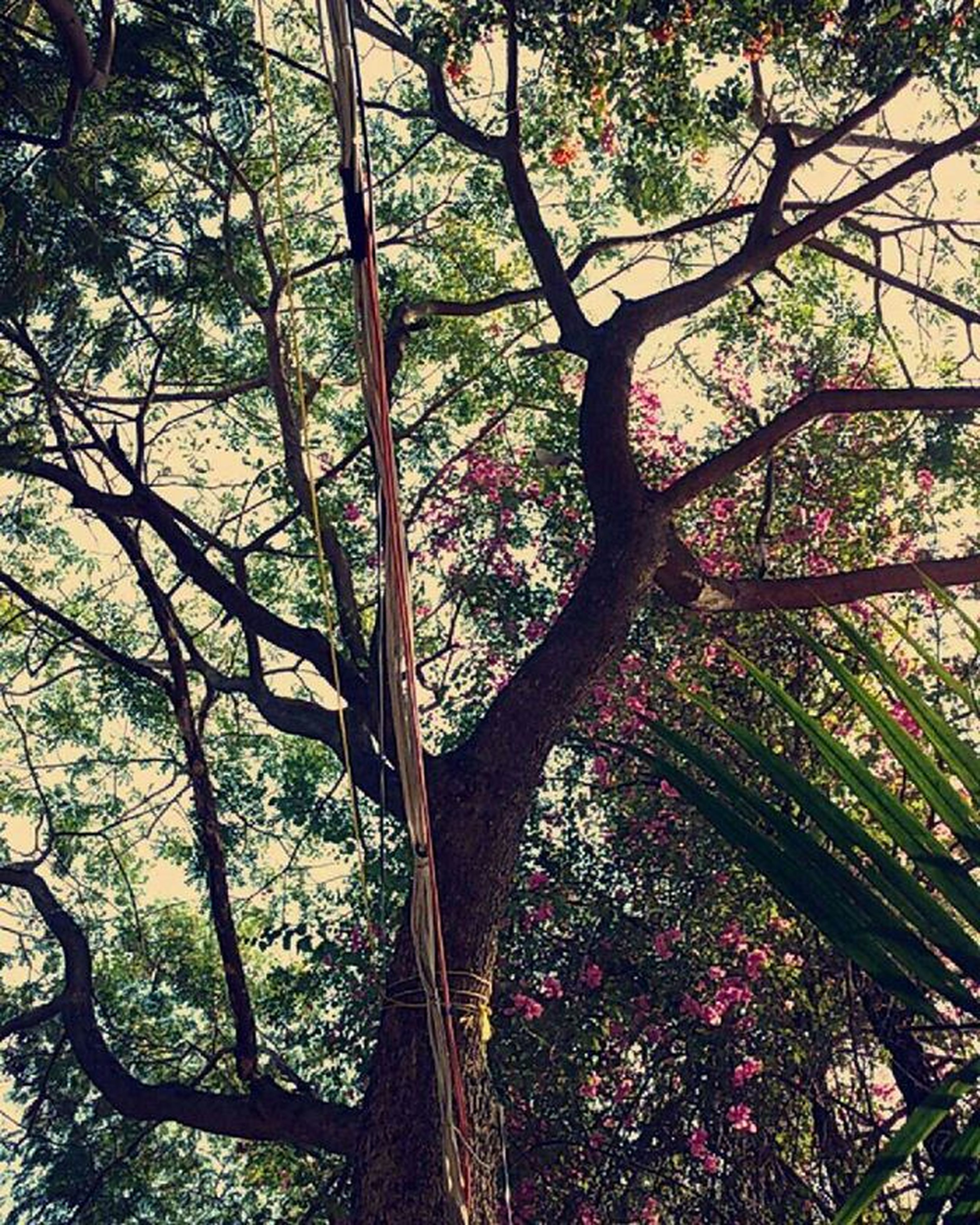 tree, growth, flower, branch, beauty in nature, nature, pink color, freshness, tree trunk, low angle view, plant, blossom, day, fragility, outdoors, park - man made space, in bloom, tranquility, no people, botany