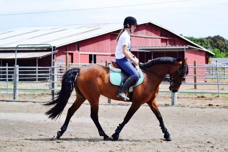 Horse Horse Riding Morgan Pony