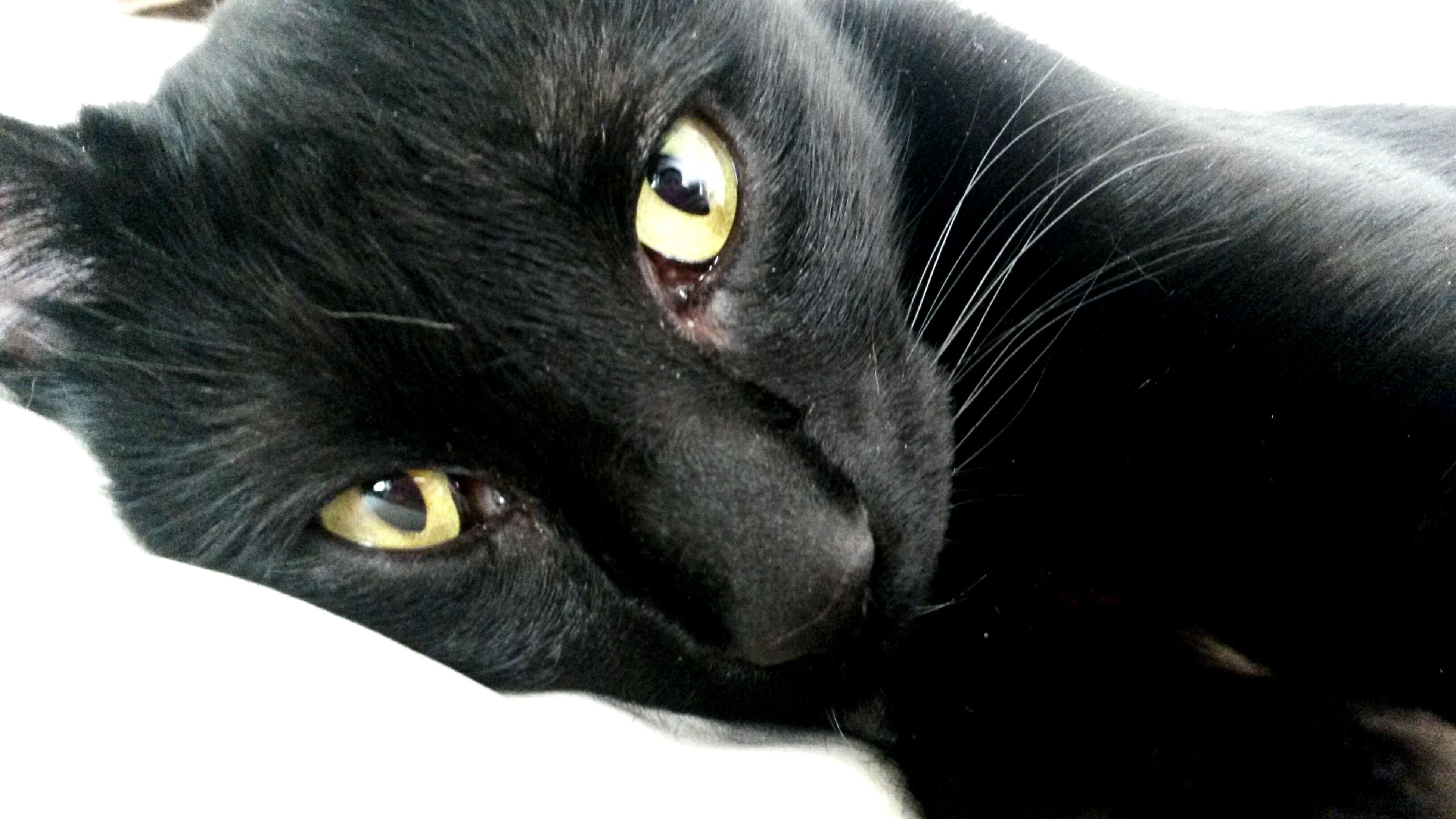 domestic animals, pets, animal themes, one animal, mammal, domestic cat, cat, feline, whisker, animal head, close-up, looking at camera, portrait, indoors, animal eye, black color, animal body part, staring, alertness, relaxation