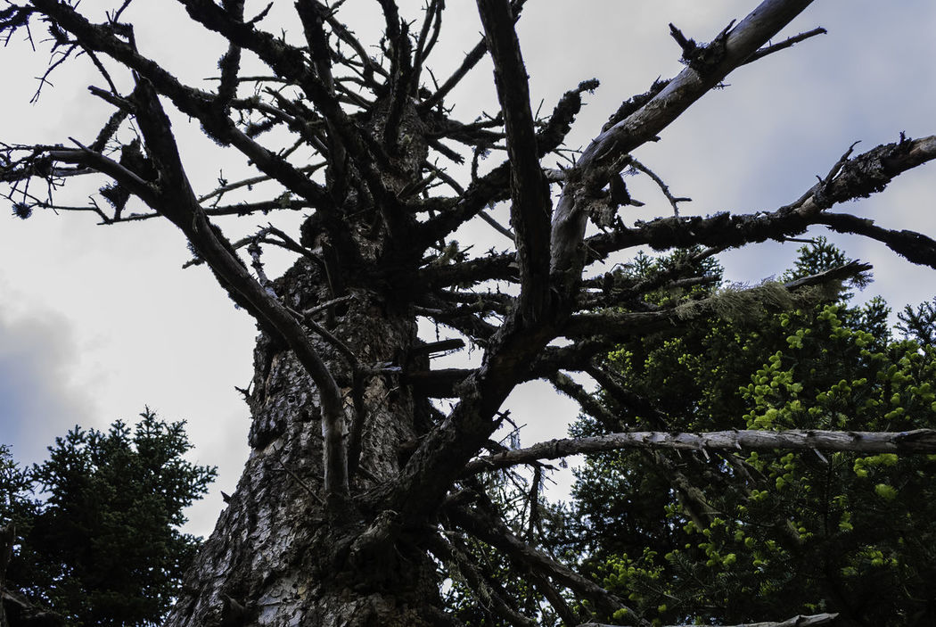 old tree.. Beauty In Nature Branch Day Greece Growth Low Angle View Nature No People Outdoors Pavliani Sky Tranquility Tree If Trees Could Speak