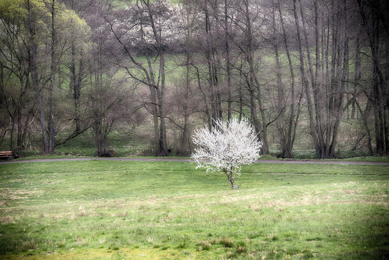 nature, tree, beauty in nature, bare tree, grass, tree trunk, tranquility, growth, landscape, day, outdoors, tranquil scene, flower, branch, no people, forest, fragility, animal themes, freshness