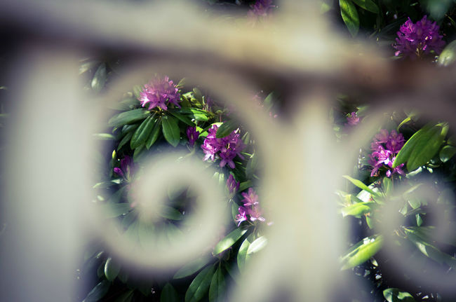 Beauty In Nature Blooming Coatbridge Curling Day Fence Flower Fragility Freshness Green Color Iron Iron Railing Nature No People Ornate Outdoors Plant Purple Rhododendron Scenics Shot Through Gap White