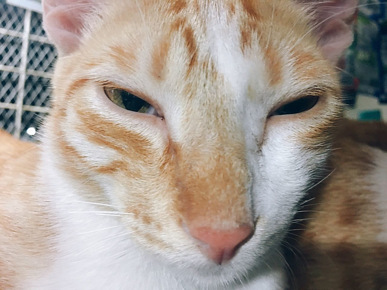 Watcha lookin at? 🐱 Pets Domestic Animals Domestic Cat Mammal One Animal Animal Themes Feline Portrait Close-up Whisker Animal Head  No People Looking At Camera Indoors  Dog Ginger Cat Day Eyeem Philippines