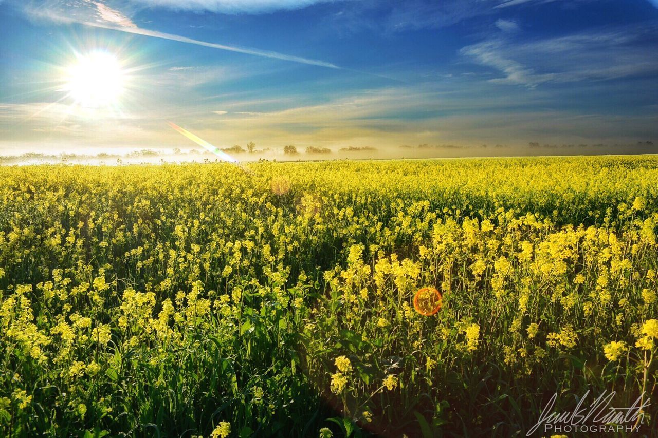agriculture, field, yellow, flower, nature, crop, farm, oilseed rape, beauty in nature, growth, sun, landscape, rural scene, cultivated land, plant, cultivated, sunlight, tranquility, scenics, no people, tranquil scene, mustard plant, freshness, outdoors, sky, day, fragility