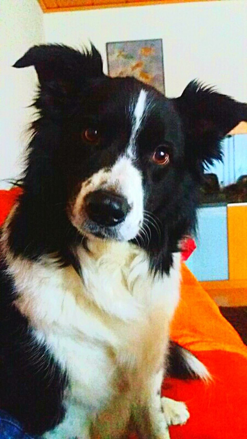 Pets One Animal Domestic Animals Animal Themes Indoors  Dog Close-up Mammal Animal Head  Resting Snout Zoology At Home Pampered Pets Loyalty Animal Hair Animal Nose Pet Photography  Border Collie Australienshepard Blackandwhite Black White Bestfriend Angel