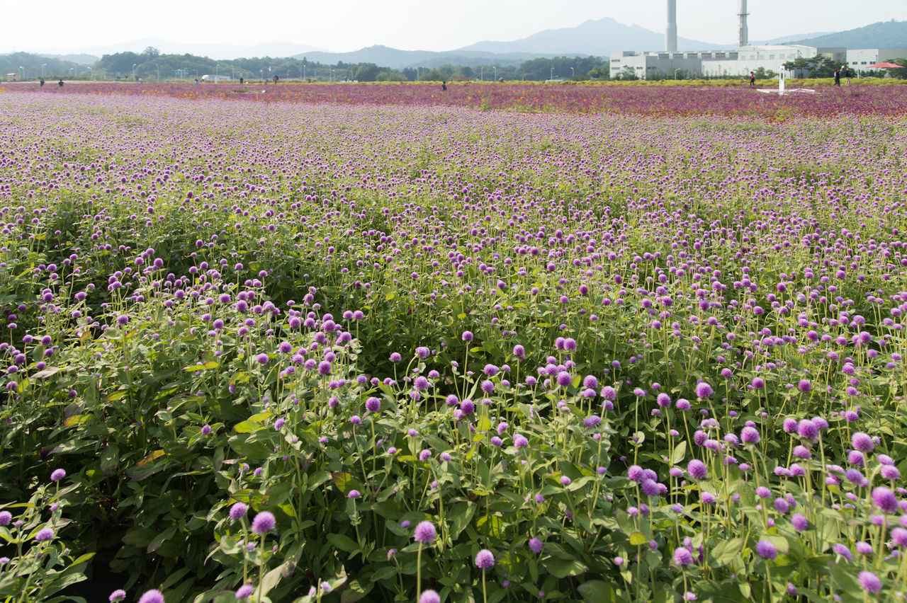 festival of globe amaranth flower with bellvedere at Nari Park in Yangju, Gyeonggido, South Korea Globe Amaranth Flower Agriculture Beauty In Nature Day Field Flower Fragility Freshness Globe Amaranth Growth Nature No People Outdoors Plant Scenics Tranquility
