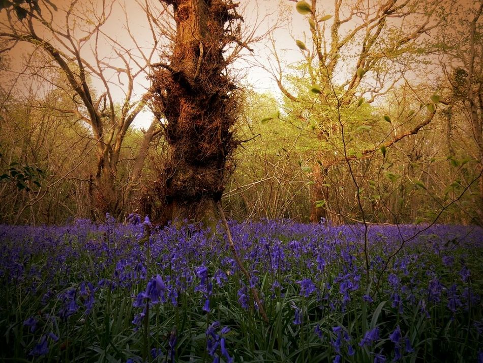 The Secret Spaces Growth Flower Nature Beauty In Nature Purple Tree No People Field Tranquility Plant Outdoors Day Fragility Scenics Freshness Sky Bluebell Wood Beauty Todays Hot New Look My First Eyem Photo Art Is Everywhere Rural Scene Modern Art Gallery Amazing Beauty