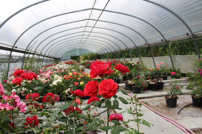 Beauty In Nature Blooming Botany Close-up Day Flower Flower Head Fragility Freshness Greenhouse Growth Indoors  Nature No People Petal Plant Plant Nursery Red Zinnia