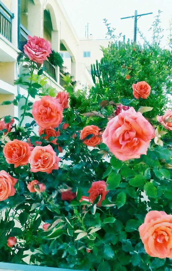 Morning guys,morning Roses,beautiful Roses for u to brighten up your day..:-)