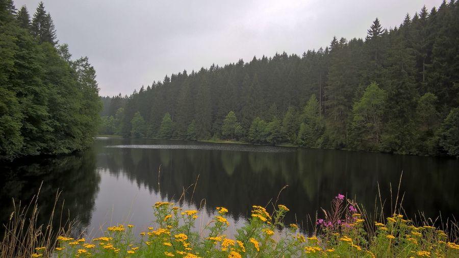 Lake Yellow Flowers Forest Harz Altenau