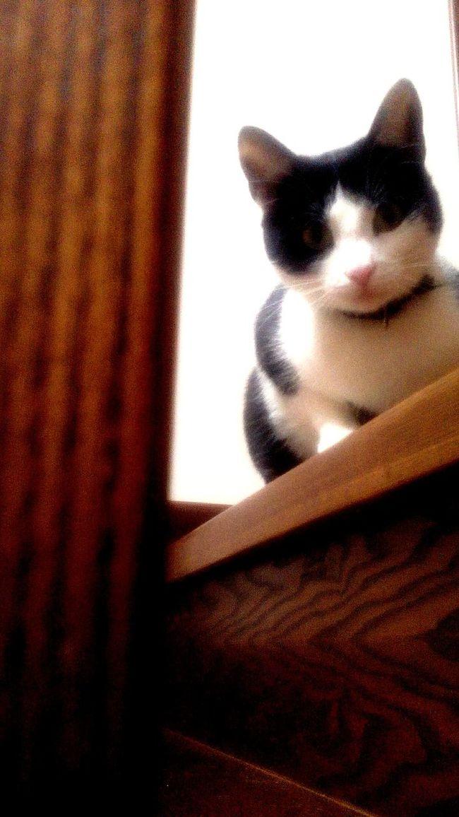 Cat Upstairs Animal