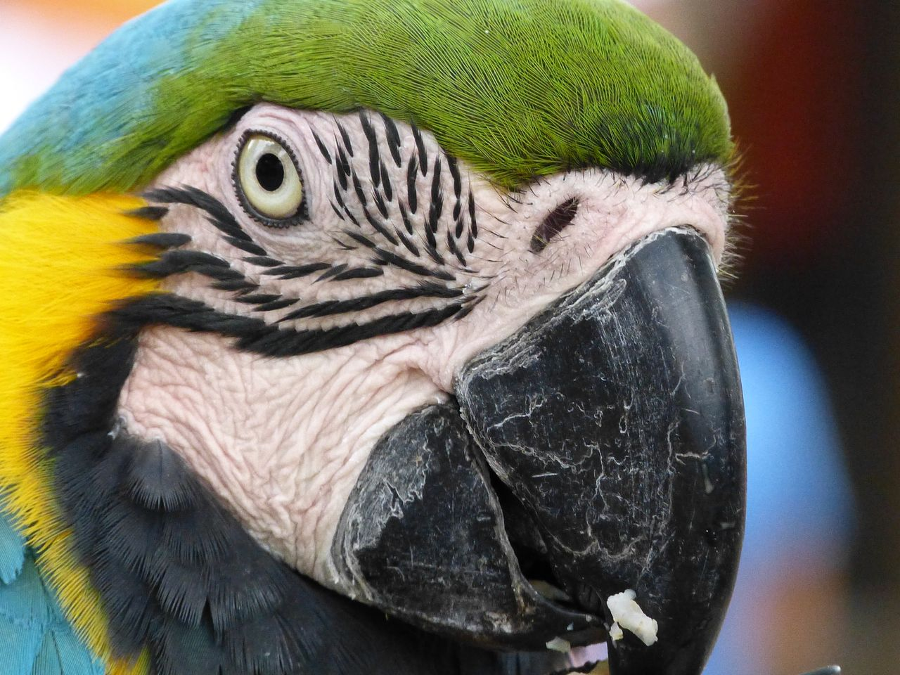 Macaw parrot - Papagei Animal Eye Animal Head  Animal Themes Animals In The Wild Ara Beak Beauty In Nature Bird Extreme Close Up Macaw Parrot Multi Colored Nature No People One Animal Papagei Parrot Parrot Lover Parrots Of Eyeem Zoology