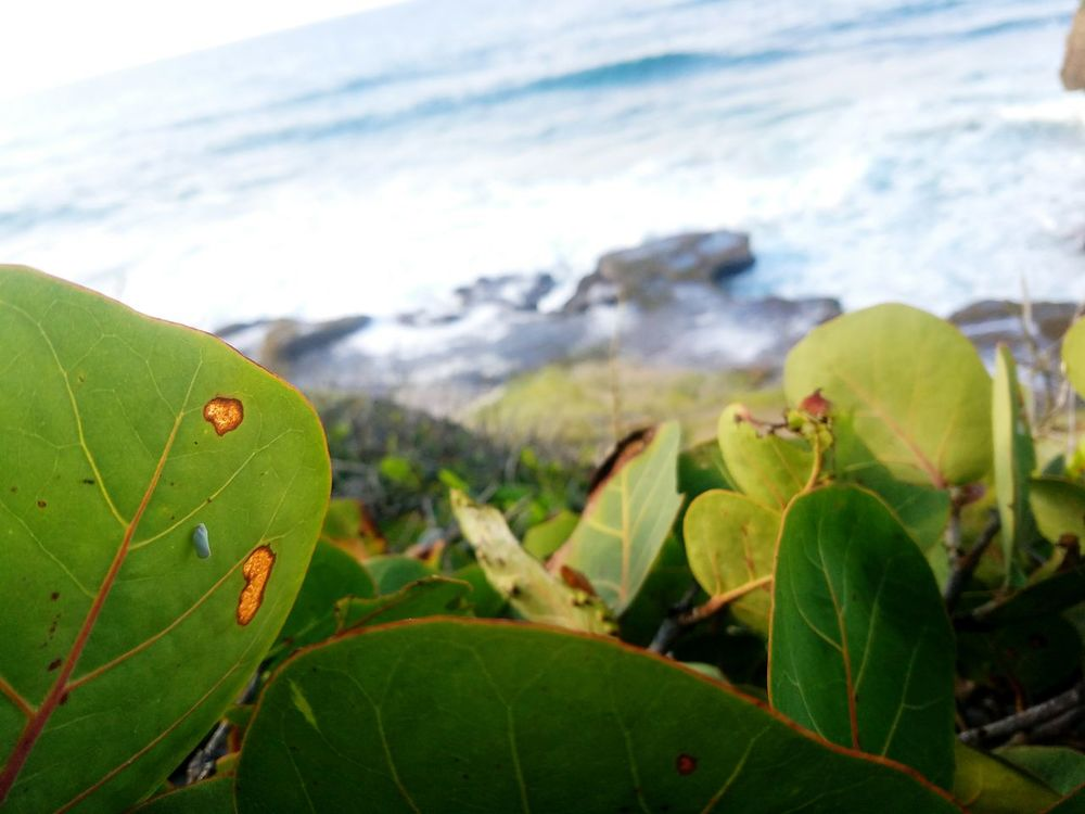 Almond Tree Beach Photography Relaxing Enjoying Life EyeEm Nature Lover Sea Lifeisbeautiful Follow Me :) Puerto Rico Eyeem Puerto Rico Eye4photography  Eyeemphotography Eyeem Photography EyeEm Samsung Galaxy S7 Playa Isabela PR ❤ Bug Life Bug On Leaf Insect Photography