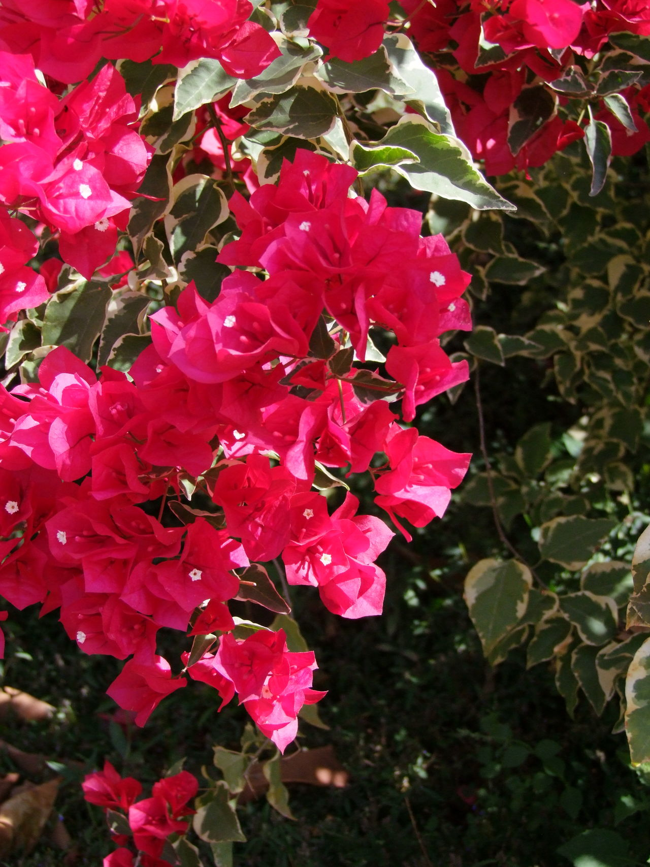 Bougainvillea RePink Coloured Flowers Beauty In Nature Blooming Bougainvillea Close-up Composition Flower Heads Flowers Fragility Freshness Full Frame Growth Myanmar Nature No People Outdoor Photography Petals Pink Color Plant Pyin Oo Lwin Red Red And Green Colours Sunlight And Shade