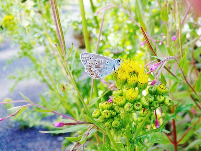 Common Blue Common Blue Butterfly Nature Flying Insect Insect Yellow Flower Blue Butterfly Butterfly