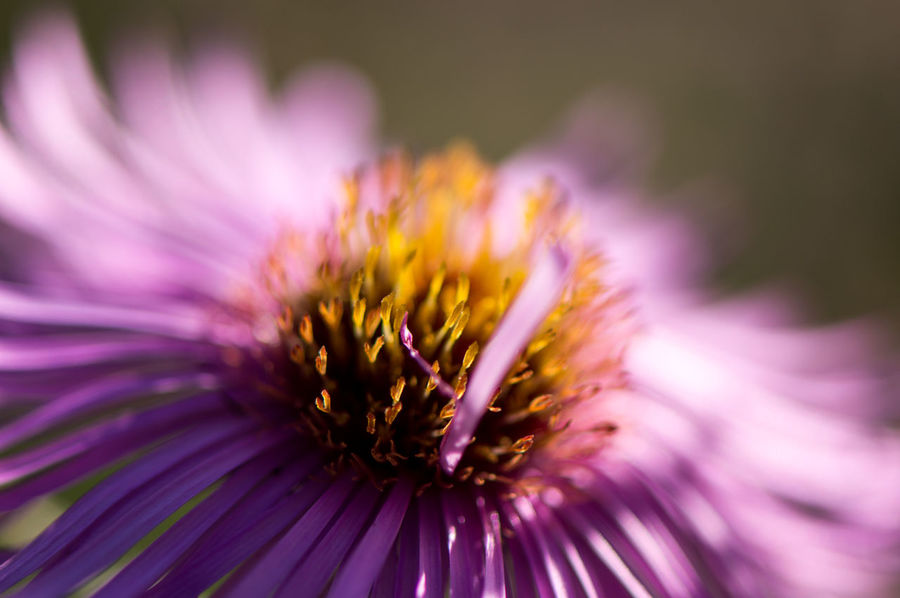 Wild chrysanthemum... Autumn Herbstaster Beauty In Nature Blooming Botany Close-up Day End Of Summer Flower Flower Head Flowers Fragility Freshness Growth Intricacy Macro Macro_flower Nature No People Outdoors Petal Plant Pollen Purple Wild Chrysanthemum