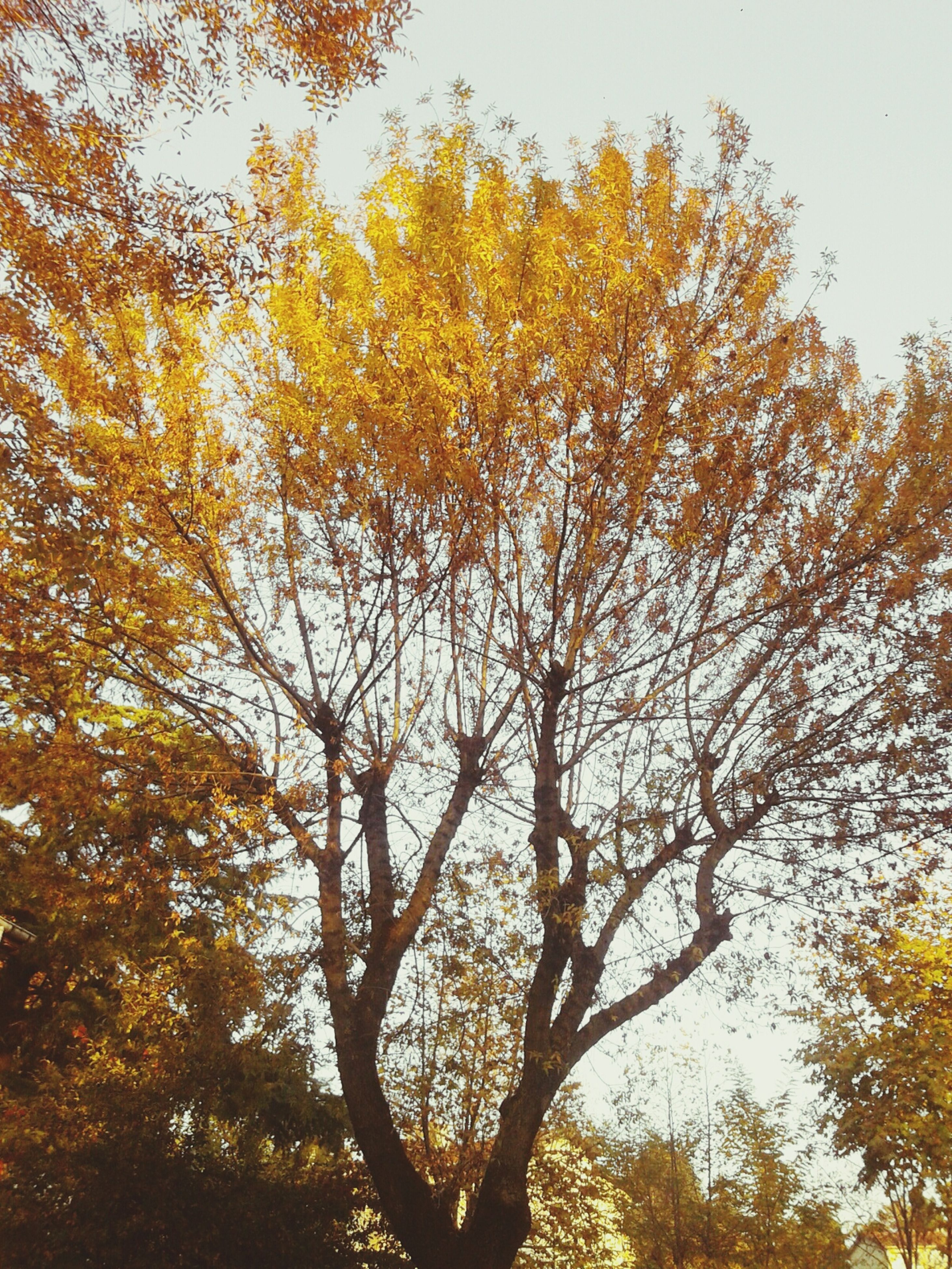 tree, low angle view, autumn, branch, change, growth, nature, beauty in nature, tranquility, yellow, season, clear sky, sky, scenics, day, leaf, orange color, outdoors, no people, tranquil scene