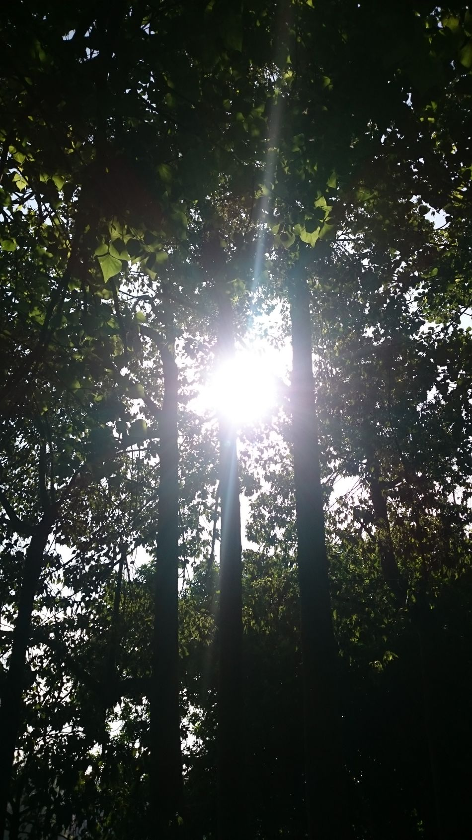 Tree Nature No People Sunlight Growth Sunbeam Low Angle View Leaf Beauty In Nature Tranquility Scenics Backgrounds Shiny Outdoors Day Refraction Sky Close-up