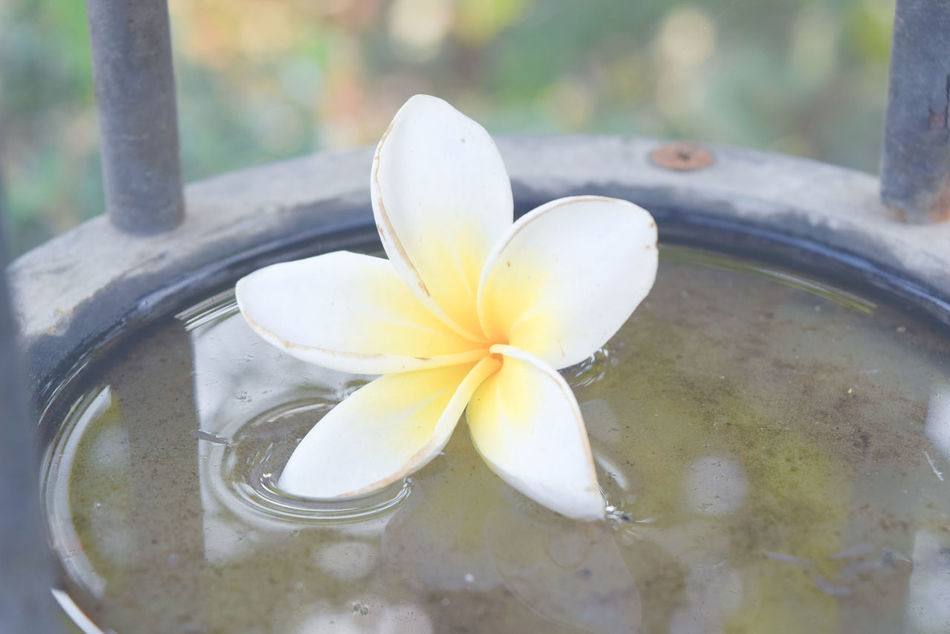 Beauty In Nature Close-up Day Flower Flower Head Focus On Foreground Fragility Frangipani Freshness Growth Nature No People Outdoors Petal Water White Color