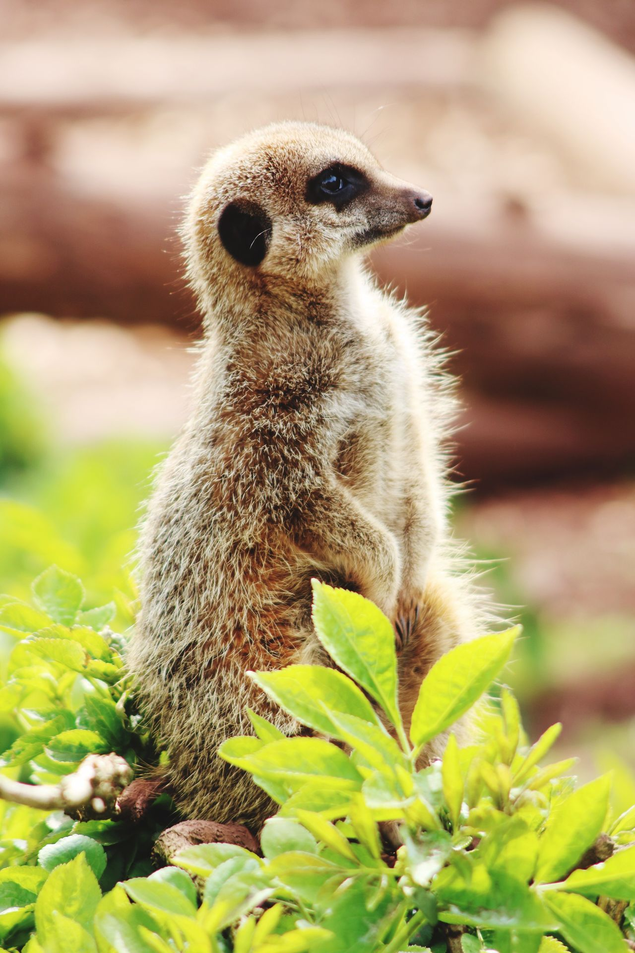 One Animal Animal Themes Animals In The Wild Animal Wildlife Mammal Day Meerkat Outdoors Nature Focus On Foreground Close-up No People Portrait Zoophotography Portrait Photography Lake District Zoo Upclose  South Lake Zoo Nature Keeping Watch