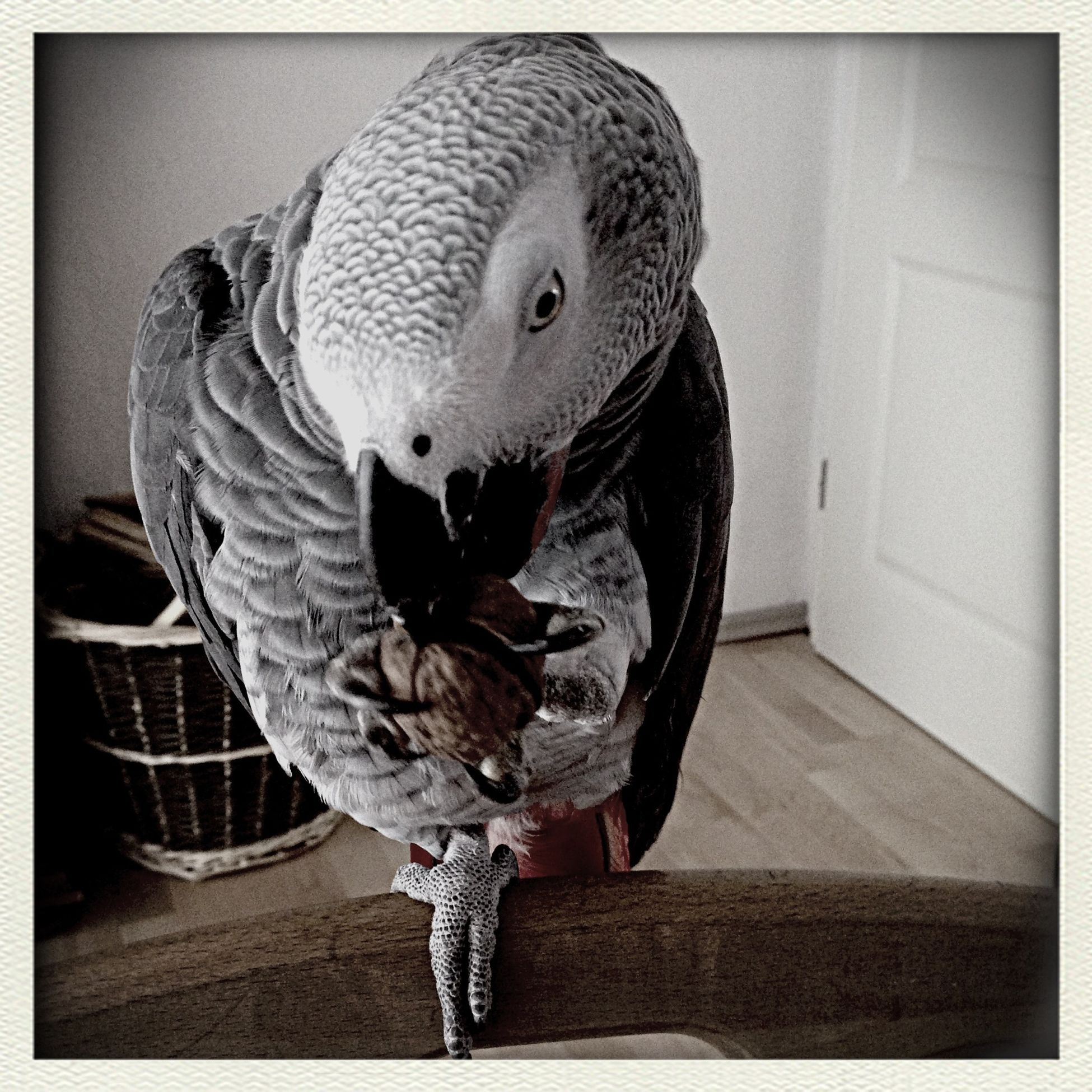 Parrot Graupapagei