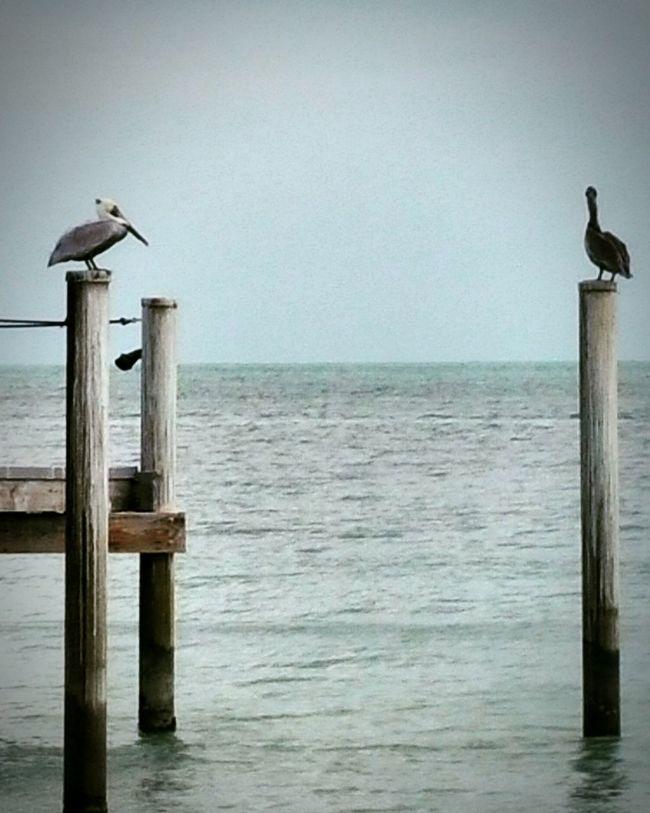 Key west florida Water Horizon Over Water Sea Nature Day Scenics Beauty In Nature Bird Pelican Birds Pelicano Keywest